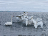 5.Swan fight between 2 groups