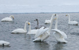 3.Swan fight between 2 groups