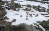 Snow Monkeys