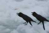 Large-billed Crows