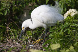 Snowy Egret and egg