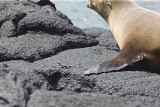 Lava Lizard near Sea Lion