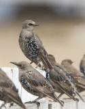 European Starling in nonbreeding plumage