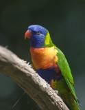 Macaws,Parrots,    Lorikeets,Budgerigars,  Parakeets,.Lovebirds