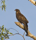 Wedged-tailed Eagle