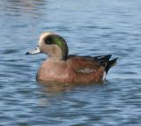 American Widgeon,male in breeding plumage