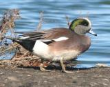 American Widgeon,male in breeding plumage on land