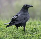 Corvids-Jays,Crows,Ravens,Magpies