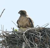 Red-tailed Hawk on the nest