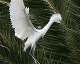 Snowy Egret,juvenile landing