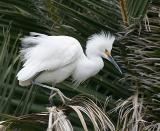 Snowy Egret,juvenile