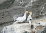 Northern Gannets in display