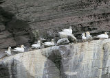 Northern Gannets on the nests