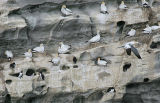 Northern Gannets and Common Murres