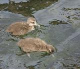 Common Eider chicks train to find food