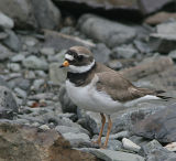 Common Ringed Plover.male