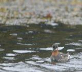 Rednecked Phalarope in breeding plumage