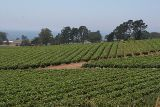 Strawberry fields with Monterey Bay in the background