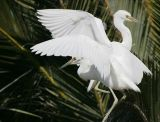 Snowy Egrets competing for a perch