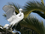 Snowy Egret coming to his perch