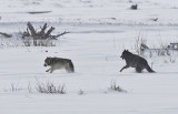 Grey Wolves,mambers of Druid pack