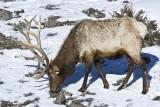 Elk,male