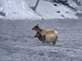 Elk,females crossing river