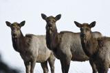 Elk,female