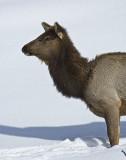 Elk,females
