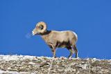 Bighorn Sheep,male
