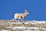 Bighorn Sheep,female