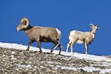 Bighorn sheep,male in regarded by female