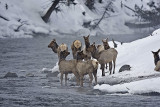 Elk,females about to cross river
