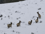 2.Elks,female escape