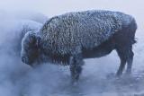 Bison in AM steam