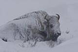 Bison in AM snow storm