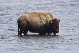 Bison Crossing Water