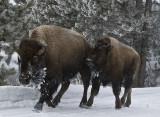 Bison running on road