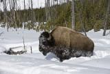 Bison pushing on