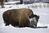 Bison getting down to grass