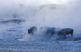 Bison in steam