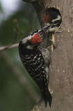 Nutthall's Woodpeckers,male feeding chick