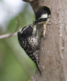Nutthall's Woodpeckers,female feeding chick