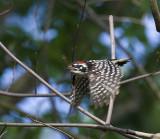 Nuttall's Woodpecker in flight