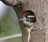 Nuttall's Woodpecker,chick waits for food