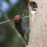 Nuttall's Woodpecker,male feeding chick