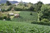 Plantaciones de Acelga