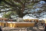 La Ceiba en la Plaza Central Identifica al Municipio Desde Hace Muchos Años