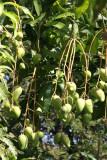 Los Mangos son Producto Comun en la Region
