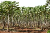 Plantacion de Papaya a la Orilla de la Ruta a la Cabecera